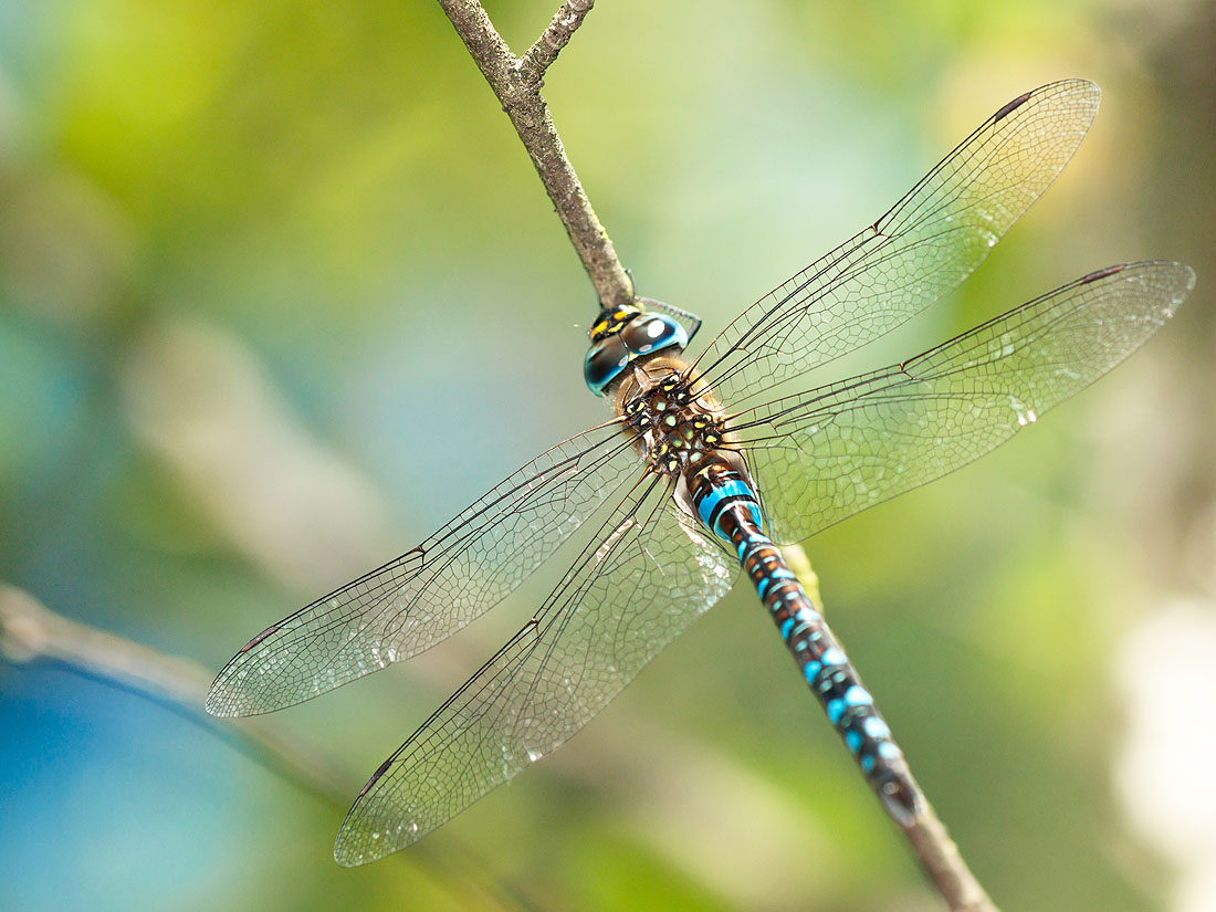 The Migrant Hawker (Aeshna mixta)