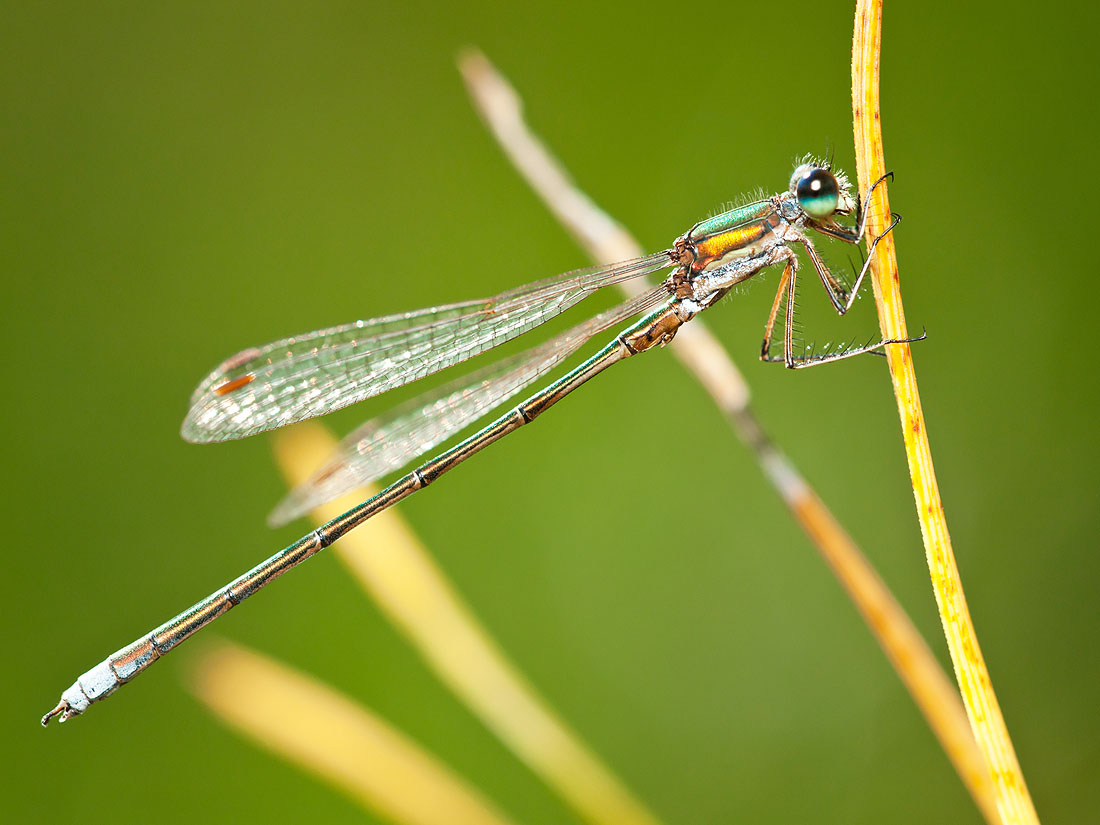 Small Emerald Damselfly (Lestes virens)